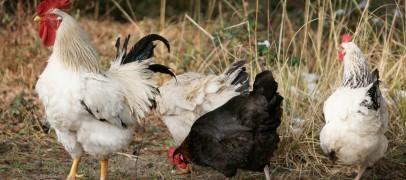 Grippe aviaire : mesures de sécurité